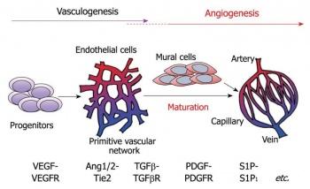 350px-Vasculogenesis_angiogenesis
